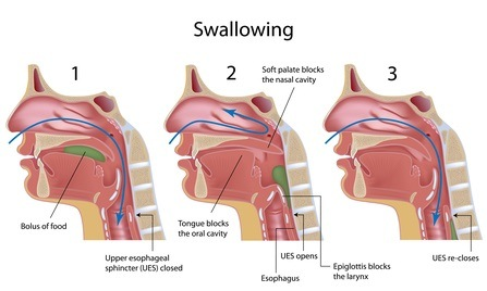 Stages of Swallowing